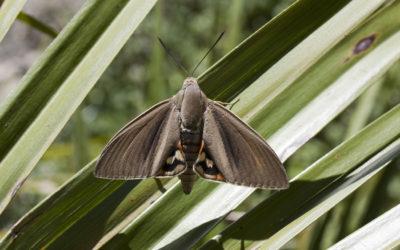 Papillon du Palmier en Ardèche Méridionale